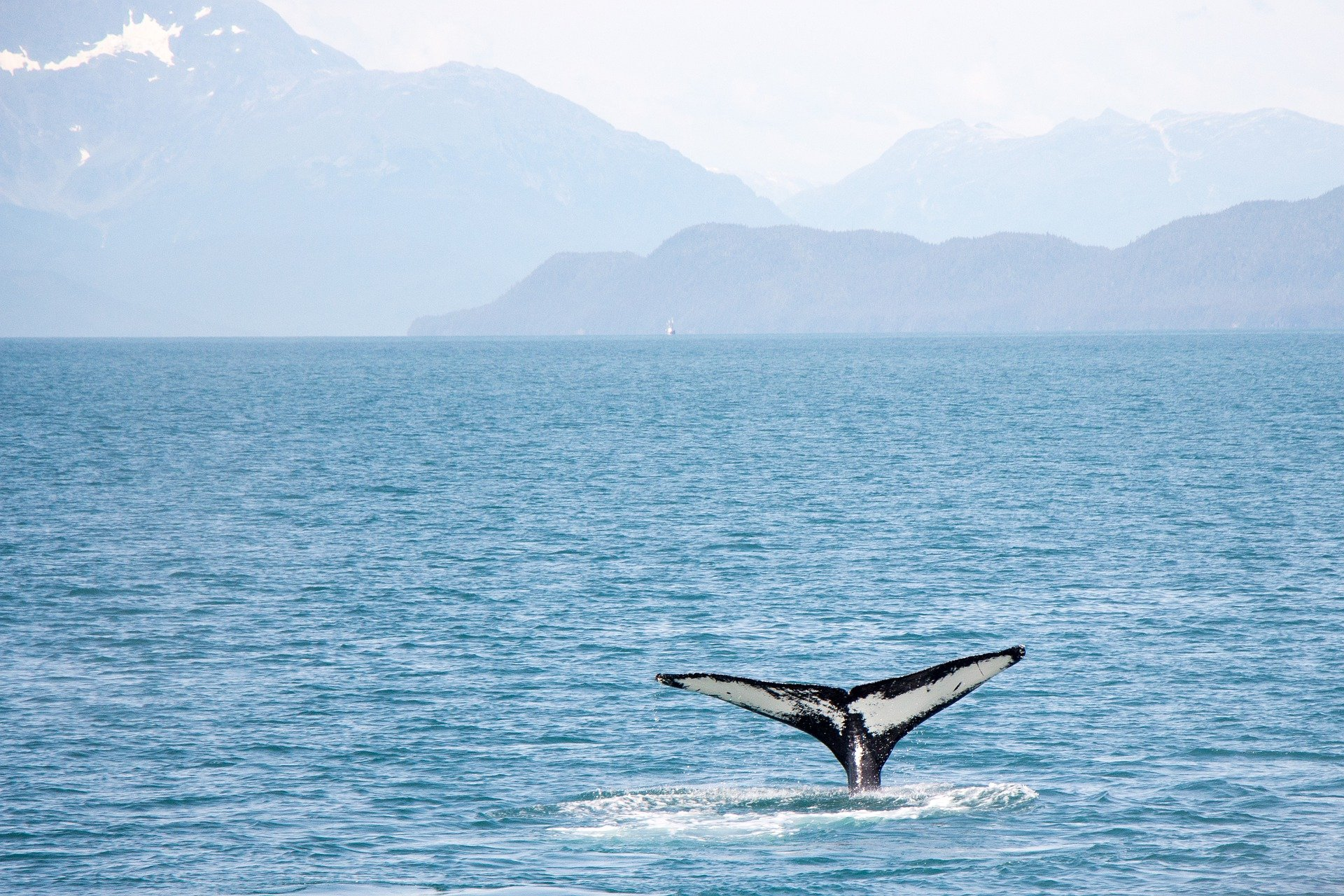 WWF собирает деньги на сохранение гренландских китов в России